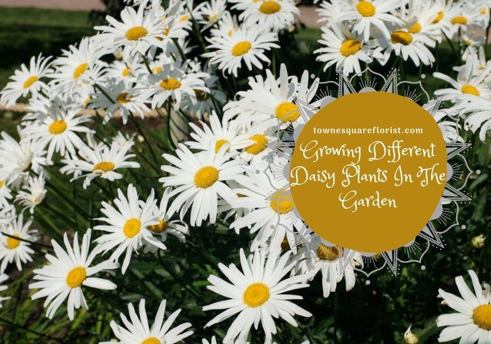 Daisy Plants In The Garden