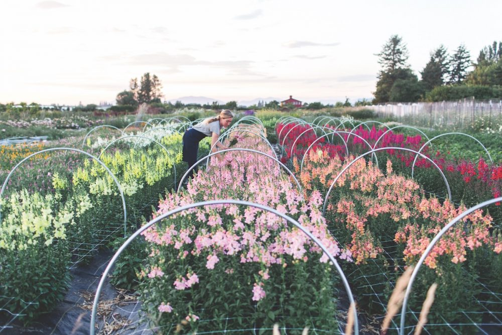 When to pick cut flowers